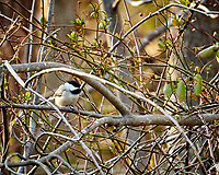 Black-capped Chickadee. Image taken with a Nikon 1V1 camera, FT1 adapter, and 70-200 mm f/2.8 VRII lens (ISO 800, 200 mm, f/8. 1/100 sec).