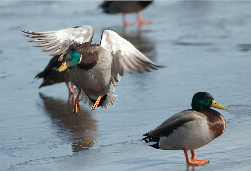 A drake mallard lands on a river.