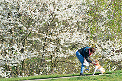 ©Licensed to London News Pictures 08/04/2020  <br /> Greenwich, UK. A lady putting her dog on a lead. People get out of the house from Coronavirus lockdown to exercise and enjoy the sunny weather in Greenwich park,Greenwich, London. Photo credit:Grant Falvey/LNP