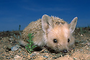 Long-eared Hedgehog (Hemiechinus auritus), Gobi Desert, Mongolia