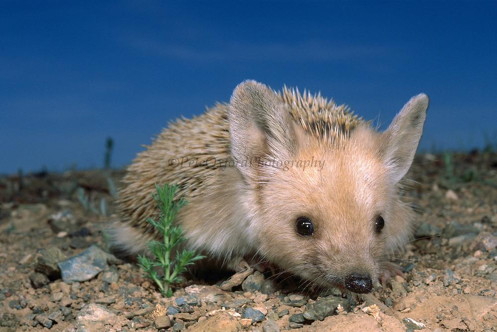 Long-eared Hedgehog (Hemiechinus auritus), Gobi Desert, Mongolia