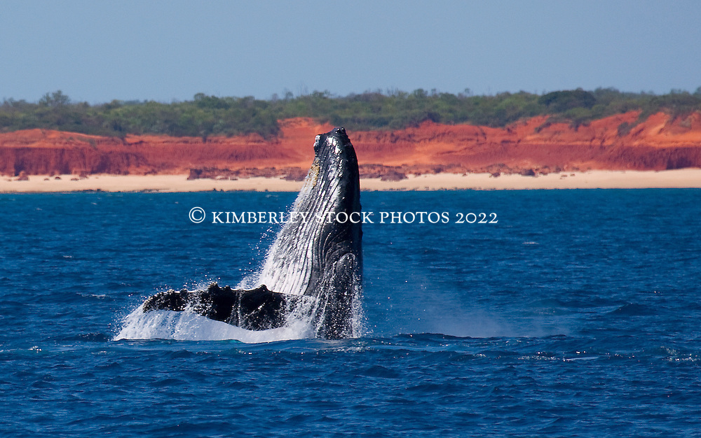 A Humpback whale (Megaptera novaeangliae) breaches off Lombadina on the Kimberley coast.
