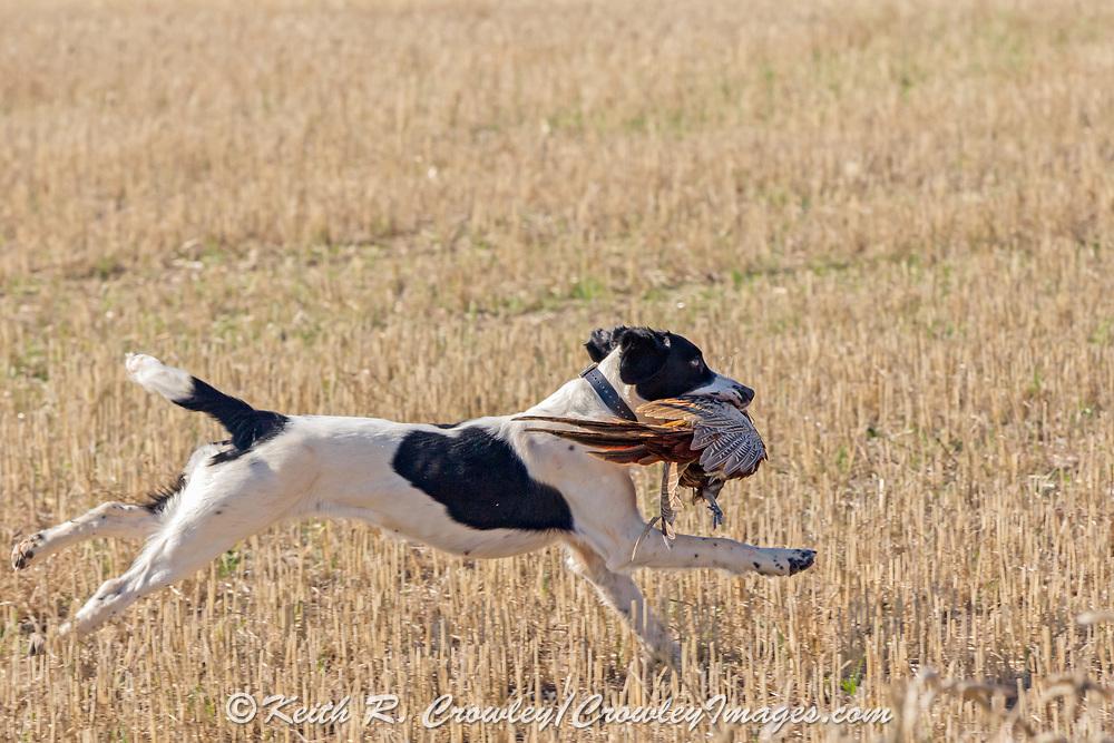 Pheasant hunting with English Springer spaniels in North Dakota