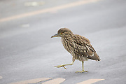 Black-crowned Night Heron<br /> Nycticorax nycticorax<br /> Fledgling crossing road at Ninth Street Rookery<br /> Santa Rosa, California
