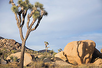 Joshua trees and rocks in desert