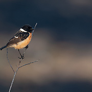 Common stonechat is the name used for the Saxicola species Saxicola torquatus