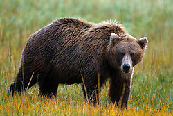 North American brown bear / coastal grizzly bear (Ursus arctos horribilis) sow in a field, Lake Clark National Park, Alaska, United States of America