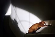 "(ALBUQUERQUE, N.M., SHOT 12/24/2004).Photos of Tanner sleeping in the sun on the steps of my parents house in  in Albuquerque, N.M.. The Vizsla, as described in the American Kennel Club (AKC) standard, is a medium-sized short-coated hunting dog of distinguished appearance and bearing. Robust but rather lightly built; the coat is a golden-rust color. The coat could also be described as a copper/brown color. They are lean dogs, and have defined muscles, and are similar to a Weimaraner. Vizslas are lively, gentle-mannered, loyal, caring and highly affectionate. They quickly form close bonds with their owners, including children. Often they are referred to as ""velcro"" dogs because of their loyalty and affection. They are quiet dogs, only barking if necessary or provoked. They are natural hunters with an excellent ability to take training (American Breed Standard, AKC). Not only are they great pointers, but they are excellent retrievers as well..(Photo by MARC PISCOTTY / © 2004)"