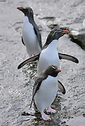Three rockhopper penguins returning to land from the sea.