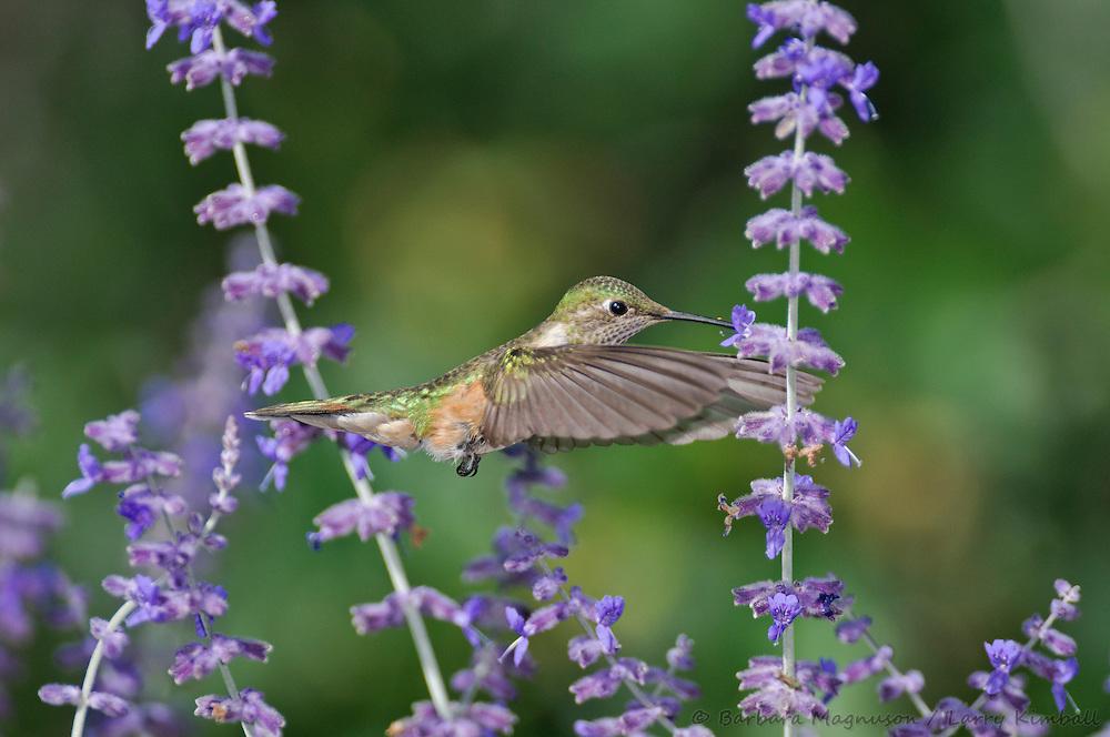 Broad-tailed Hummingbird [Selasphorus platycercus] female, feeding at .Perovskia atriplicifolia flowers; Fremont County, Colorado