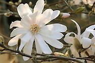 France, Languedoc Roussillon, Gard, Cévennes, Anduze, Prafrance, La Bambouseraie, fleur, Magnolia Stellata