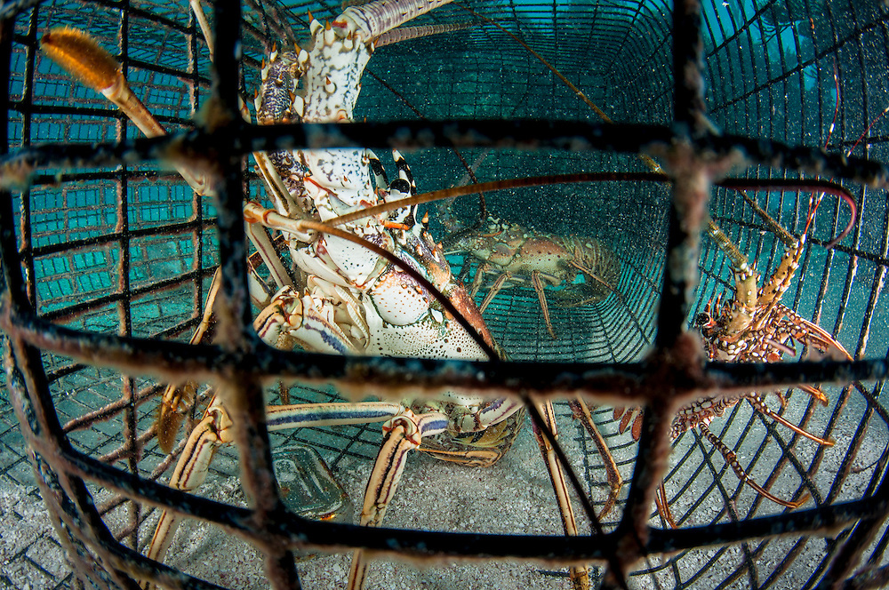Caribbean spiny lobster caught in a fishing trap underwater. The Bahamian lobster fishery is seeking sustainable status and they are close, but challenges still lay ahead.