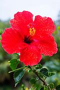 Red hibiscus flower, Olu Pua Gardens, Kalaheo, Kauai, Hawaii