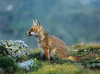 Fox on mountain pass