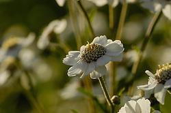 Wilde bertram, Achillea ptarmica