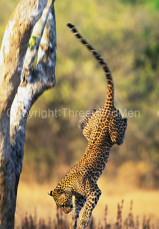 Leopard leaping off tree. Yala National Park, Sri Lanka.