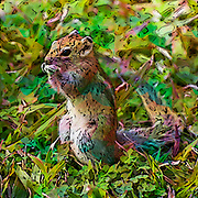 Digitally enhance image of an African ground squirrel (Xerus sp.). These rodents live in open arid areas of southern Africa where they feed on grasses, roots, seeds and insects. They are social animals living in colonies or between 5 and 30 individuals that dig extensive burrow systems. Photographed in Namibia.