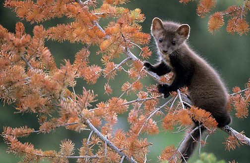 Pine Marten, (Martes americanus) Young kit. Spring. Montana.  Captive Animal.
