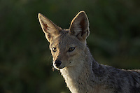 Black Backed Jackal in golden morning light