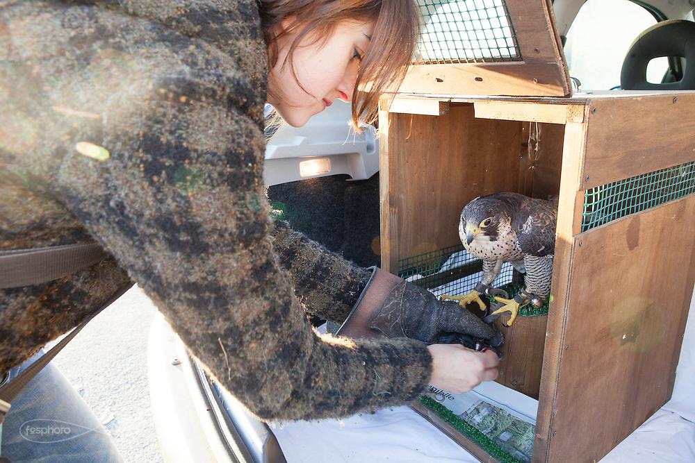 Traversetolo (Parma) - Jessica Ziveri (25), prepara il suo esemplare di Falco Pellegrino per uno spostamento in auto.