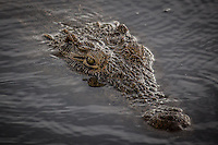 Crocodile floating in the waters of the Chobe River, Botswana.