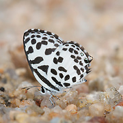 The Common Pierrot Butterfly, Castalius rosimon rosimon.