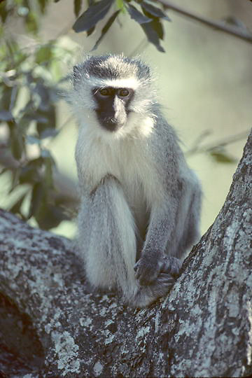 Vervet Monkey, (Cercopithecus aethiops) Loner sitting in crook of tree. Kruger National Park. South Africa.