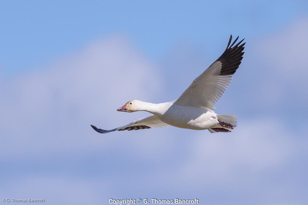A single flying snow goose shows the black primaries and white secondaries of the wings and the aerodynamic nature of their body in flight.