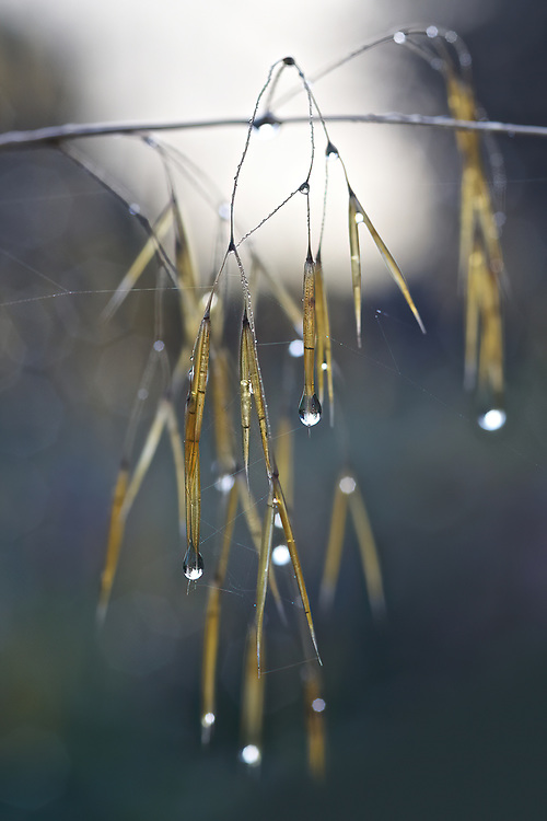 Dew Drops<br />