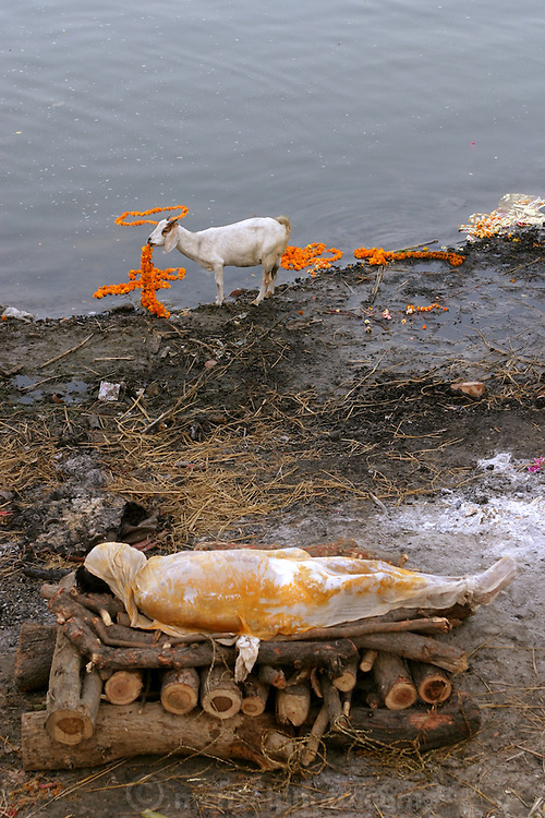 A lone goat at the Harishchandra Ghat eats marigold garlands that once adorned the bodies dipped into the Ganges River for final ritual baths before cremation in Varansi, India. The Harishchandra Ghat (also known as the Harish Chandra Ghat) is the smaller and more ancient of the two primary cremation grounds in Varanasi, on the banks of the Ganges River.