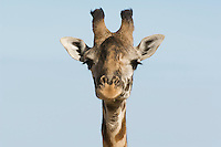Giraffe (Giraffa camelopardalis) close-up of head