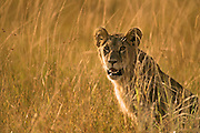 Image of a female lion (Panthera leo) in the Masai Mara National Reserve in Kenya, Africa