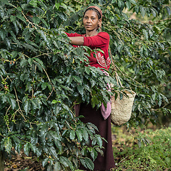 Jamila Abamacha harvests coffee on the Teppi plantation in the Kaffa region of Ethiopia. It is one of Ethiopia's largest plantations where Starbucks buys much of its coffee from Ethiopia.Coffee permeates the cultural fabric of Ethiopian life, and is celebrated daily in coffee ceremonies. Families prepare it in the living room using a pan to roast over coals, a mortar and pestle to grind, and a clay pot to boil and brew. The coffee ceremony is at once a social tradition, a celebration of the virtuous properties of coffee, and an opportunity for contemplation and reflection. Coffee is served over a period of time in three individual rounds?the Abol, Tona, and Baraka, each of which has its specific significance. Life without coffee is almost unimaginable?most people drink it in the morning, the afternoon, the evening, and sometimes late into the night. Ethiopia is one of only two producing countries that drink more than half of what they grow.