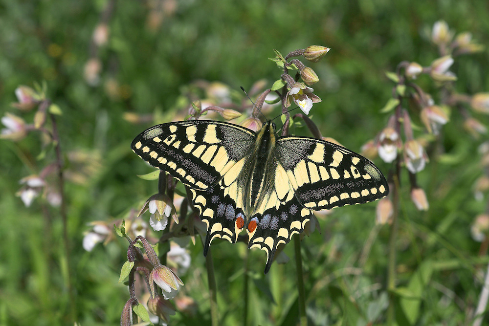 Swallowtail Papilio machaon ssp. britannicus Wingspan 70mm. Iconic and unmistakable butterfly with mainly yellow and black wings; hind wings have blue and red spots, and tail streamers. Double-brooded: adults are on the wing May–June, and again in August. Larva is yellow-green with black and red markings; feeds on Milk-parsley. Restricted to a few fens and marshes in East Anglia, mainly in the Norfolk Broads; easiest to see at Strumpshaw Fen and Hickling Broad.