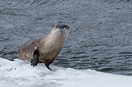 River otters rely on their eyesight to find food underwater. They have a specialized lens and cornea that correct for the refraction of light caused by the change from above and below the water. For this reason, their vision underwater is just as clear as it is above water!