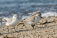 Sanderlings, Calidris alba, search for food on a beach in Cape May, NJ, during the spring migration. The circumpolar Arctic breeders, spend their winters in warmer climates such as South America, South Europe, Africa and Australia.