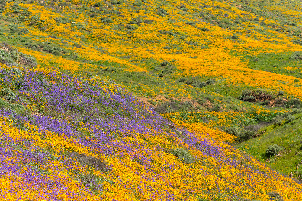 California poppies and wildflowers during super-bloom.