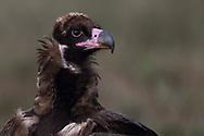 Young Black or Cinereous Vulture, Aegypius monachus, Gredos Mountains, Castilla La Mancha, Spain