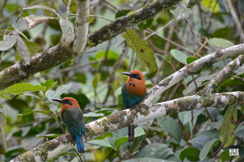 Broad-billed Mot Mot ( Electron platyrhynchum ), tropical moist lowland forest, Western Andes