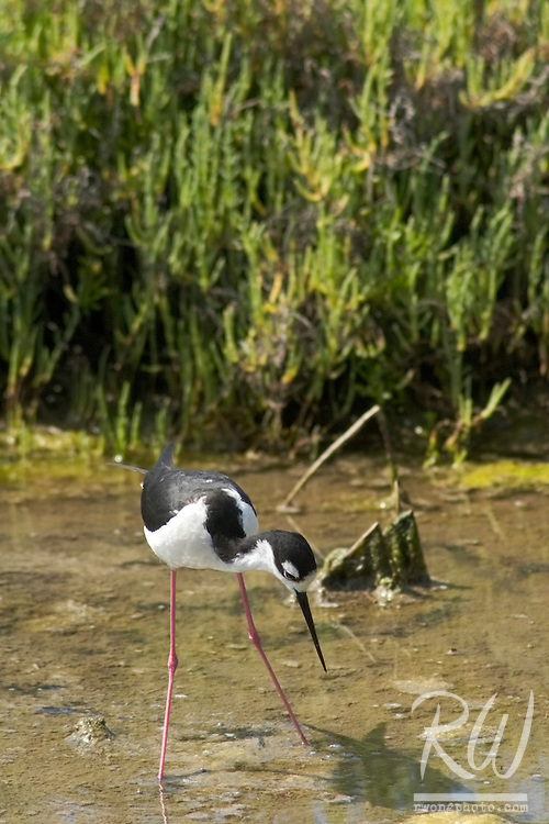 Black-necked Stilt (Himantopus mexicanus) Foraging Through Mud Flats at Bolsa Chica Wetlands Ecological Reserve, California