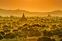 Golden Days' End: Bathed in the soft golden light of sunset, herdsmen guide their flock of goats through the arid fields of Bagan Myanmar that are strewn with holy Buddhist ruins comprised of  innumerable temples and Stupas.