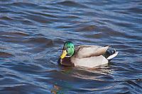 Mallard Duck (Anas platyrhynchos)  male swimming in a lake.  Male:  Iridescent green head; yellow bill; chestnut breast.