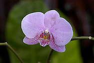 Violet Orchid &amp;#xA;&copy; KIKE CALVO - V&amp;W&amp;#xA;( flower colorful plant garden spring tropical plant ornamental orchidaceae bloom blossom bouquet petal floral beautiful inspiring nature botanical<br />
