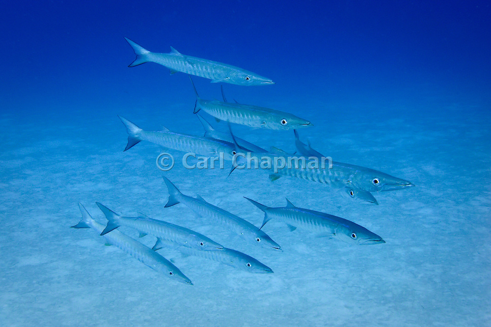 Chevron, blackfin or blacktail Barracuda (sphyraena qenie) on tropical Agincourt reef, Great Barrier Reef