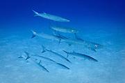 Chevron, blackfin or blacktail Barracuda (sphyraena qenie) on tropical Agincourt reef, Great Barrier Reef, Queensland, Australia.