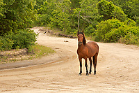NC01418-00...NORTH CAROLINA - One of the semi-wild Banker horses walking a sandy road through an issolated beach side community on the Outer Banks, north of Corrola.