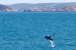 Dolphin leaping in Yampi Sound