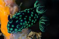 Nudibranch feeding on tunicate