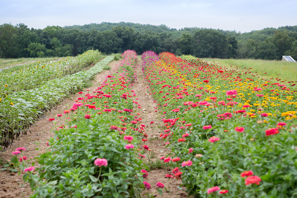 Field of flowers in Fallston, Maryland, USA