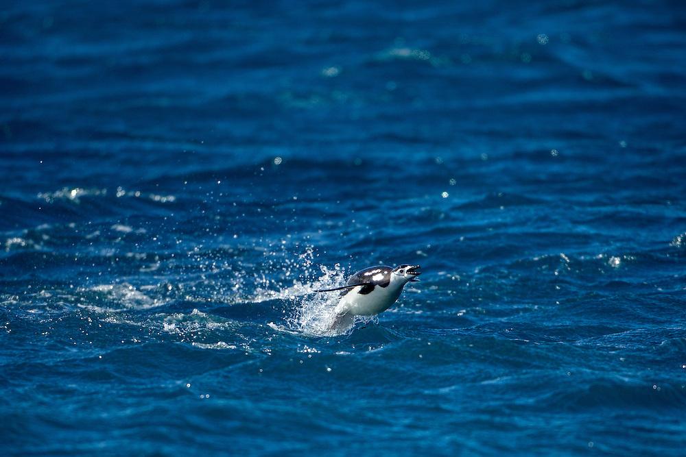 Antarctica, South Shetland Islands, Chinstrap Penguin (Pygoscelis antarcticus) porpoise while swimming toward Bailey Head on Deception Island